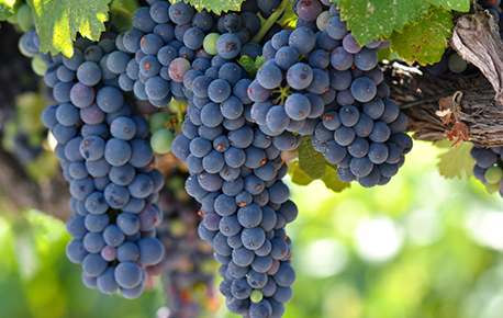 There are 3 main types of grapes: white/green, red/purple, and blue/ black.
