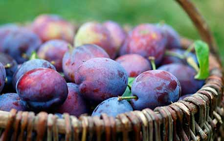 Plums do not ripen after picking so you want to select ripe ones.