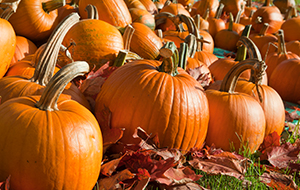 Look for even coloured well matured pumpkins that are not broken, cracked or soft