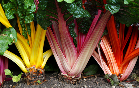 Avoid Swiss chard leaves that are yellow or discoloured