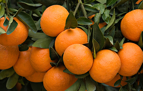 Oranges are juicier when stored at room temperature.